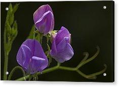Purple Heaven Acrylic Print