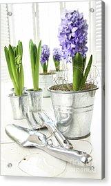 Purple Hyacinths On Table With Sun-filled Windows  Acrylic Print by Sandra Cunningham