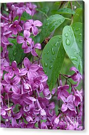 Purple Lilac Acrylic Print by Laurel Best