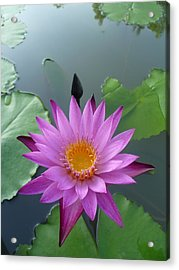 Purple Lotus In A Pond Acrylic Print by Gregory Smith