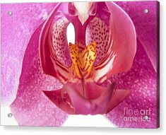 Purple Orchid Macro Acrylic Print by Blink Images
