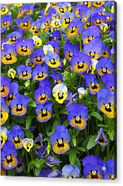 Purple Pansies 1 Acrylic Print