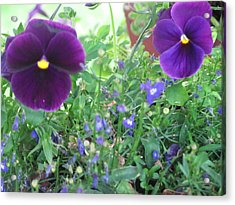Purple Pansy's Acrylic Print by Amy Bradley