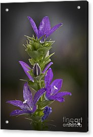 Purple Passion - Artist Cris Hayes Acrylic Print by Cris Hayes