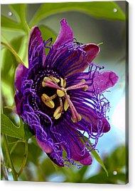 Purple Passion Acrylic Print by Michelle Harrington