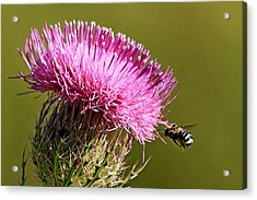 Purple Thistle Visited By A Bee Acrylic Print