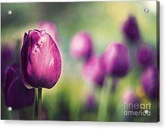 Purple Tulips Acrylic Print by Catherine MacBride