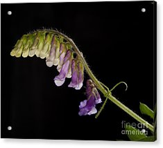 Acrylic Print featuring the photograph Purple Vetch by Art Whitton