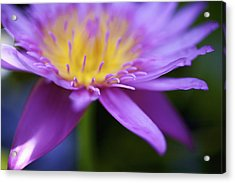 Purple Water Lily Petals Acrylic Print by Kicka Witte