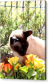 Purrfect Scent Acrylic Print by Sonja Bonitto
