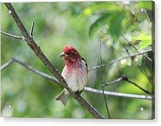 Purrple Finch Pose Acrylic Print