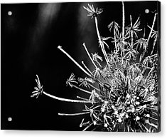 Queen Anne's Lace - 2 Acrylic Print by John Girt