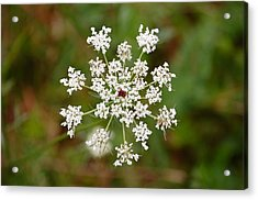 Acrylic Print featuring the photograph Queen Anne's Lace by Mary McAvoy