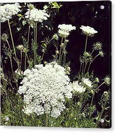 Queen Anne's Lace Acrylic Print by Michelle Calkins