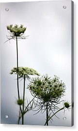 Acrylic Print featuring the photograph Queen Annes Lace by Penny Hunt