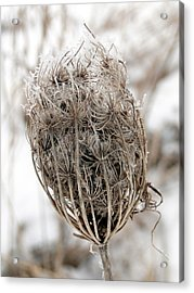 Acrylic Print featuring the mixed media Queen Anne's Lace Seed Pods by Bruce Ritchie