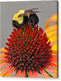 Queen Bee Acrylic Print