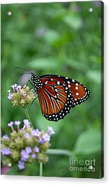 Acrylic Print featuring the photograph Queen Butterfly by Eva Kaufman
