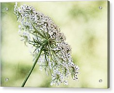 Queen's Lace Acrylic Print