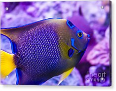 Quenn Angelfish Acrylic Print by Scotts Scapes