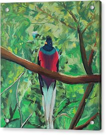 Quetzal In Costa Rica Acrylic Print
