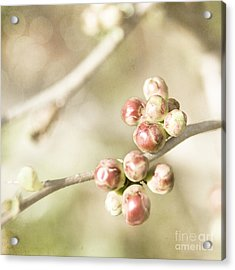 Quince Buds Close-up Acrylic Print by Agnieszka Kubica