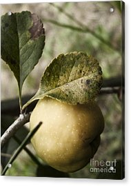 Quince Fruit Acrylic Print by Agnieszka Kubica