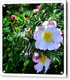 R. Roxburghii Hirtula Rose Acrylic Print
