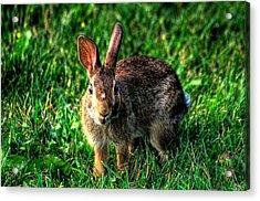Rabbit Acrylic Print by Andre Faubert