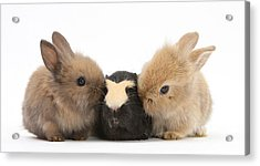 Rabbits With Guinea Pig Acrylic Print
