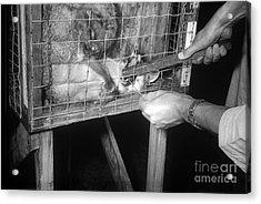 Rabid Fox, 1958 Acrylic Print by Science Source