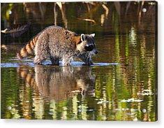 Raccoon Foraging  Acrylic Print by Bruce J Robinson