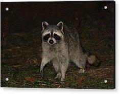 Raccoon Acrylic Print by Lali Partsvania