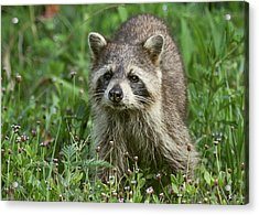 Acrylic Print featuring the photograph Raccoon Looking For Lunch by Myrna Bradshaw