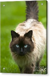Acrylic Print featuring the photograph Ragdoll Cat by Andrew  Michael