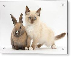 Ragdoll-cross Kitten And Young Rabbit Acrylic Print