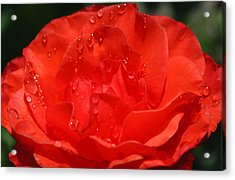 Rain Drop Rose Acrylic Print by Tony and Kristi Middleton