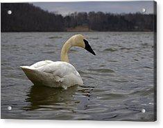 Rain Swan 2 Acrylic Print by Brian Stevens