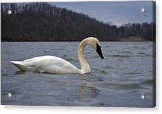 Rain Swan Acrylic Print by Brian Stevens