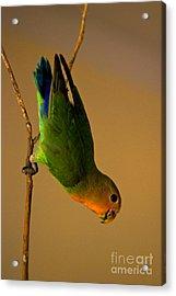Rainbow Bird Acrylic Print by Syed Aqueel