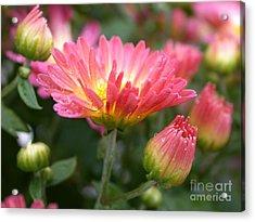 Rainbow Mums Acrylic Print by Living Color Photography Lorraine Lynch