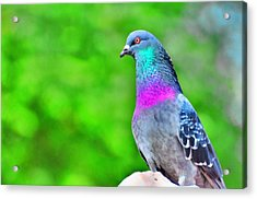 Rainbow Pigeon Acrylic Print