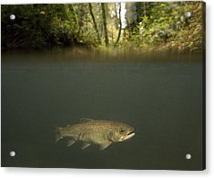 Rainbow Trout In Creek In Mixed Coast Acrylic Print