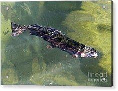 Rainbow Trout Swimming Acrylic Print by Kenny Bosak