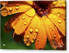 Raindrops On Daisy Acrylic Print by Thomas R Fletcher