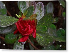 Rainy Day Rose Acrylic Print by Wide Awake Arts