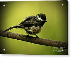 Rainy Days - Chickadee Acrylic Print by Inspired Nature Photography Fine Art Photography