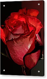 Rare Red Rose Acrylic Print