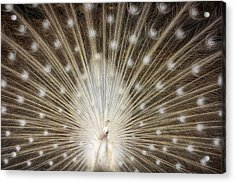 Rare White Peacock Acrylic Print by Larry Marshall