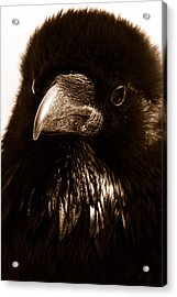 Raven In Black Acrylic Print by Michael Cinnamond
